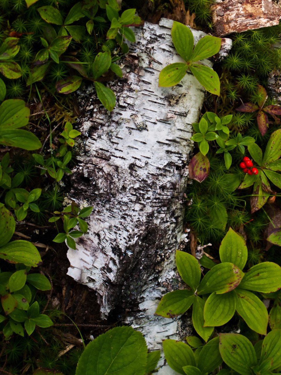 """Birch Bark on Forest Floor"", Island of Vinalhaven, 2009"