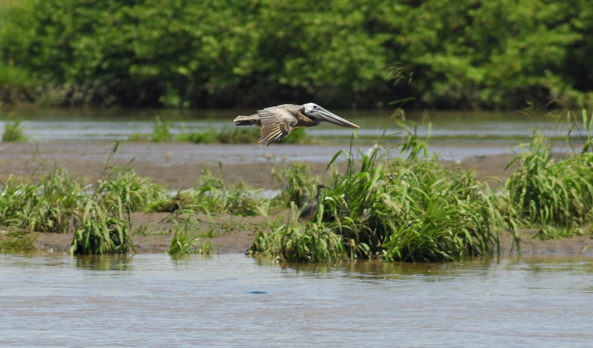 """""""Pelican in Flight"""", Tarcoles River, Las Mantas, Puntarenas"""