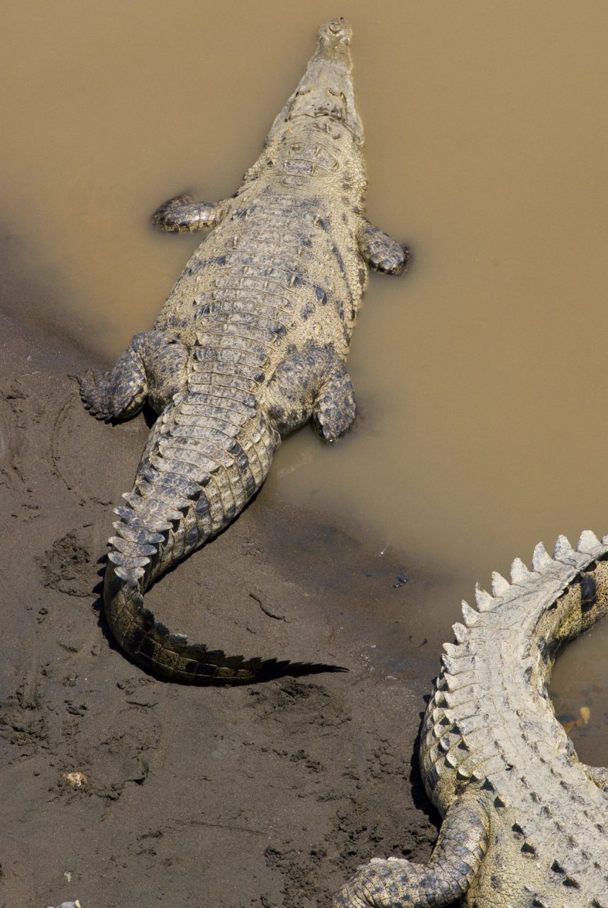 """""""American Crocodiles"""", Tarcoles River, Las Mantas, Puntarenas"""