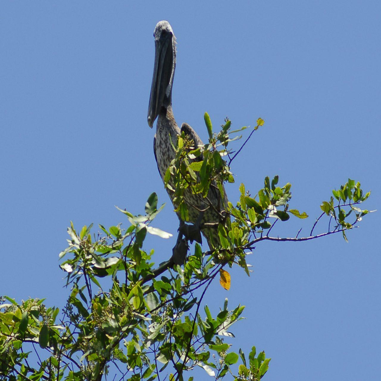 """""""Pelican in a White Mangrove"""", Tarcoles River, Las Mantas, Puntarenas"""