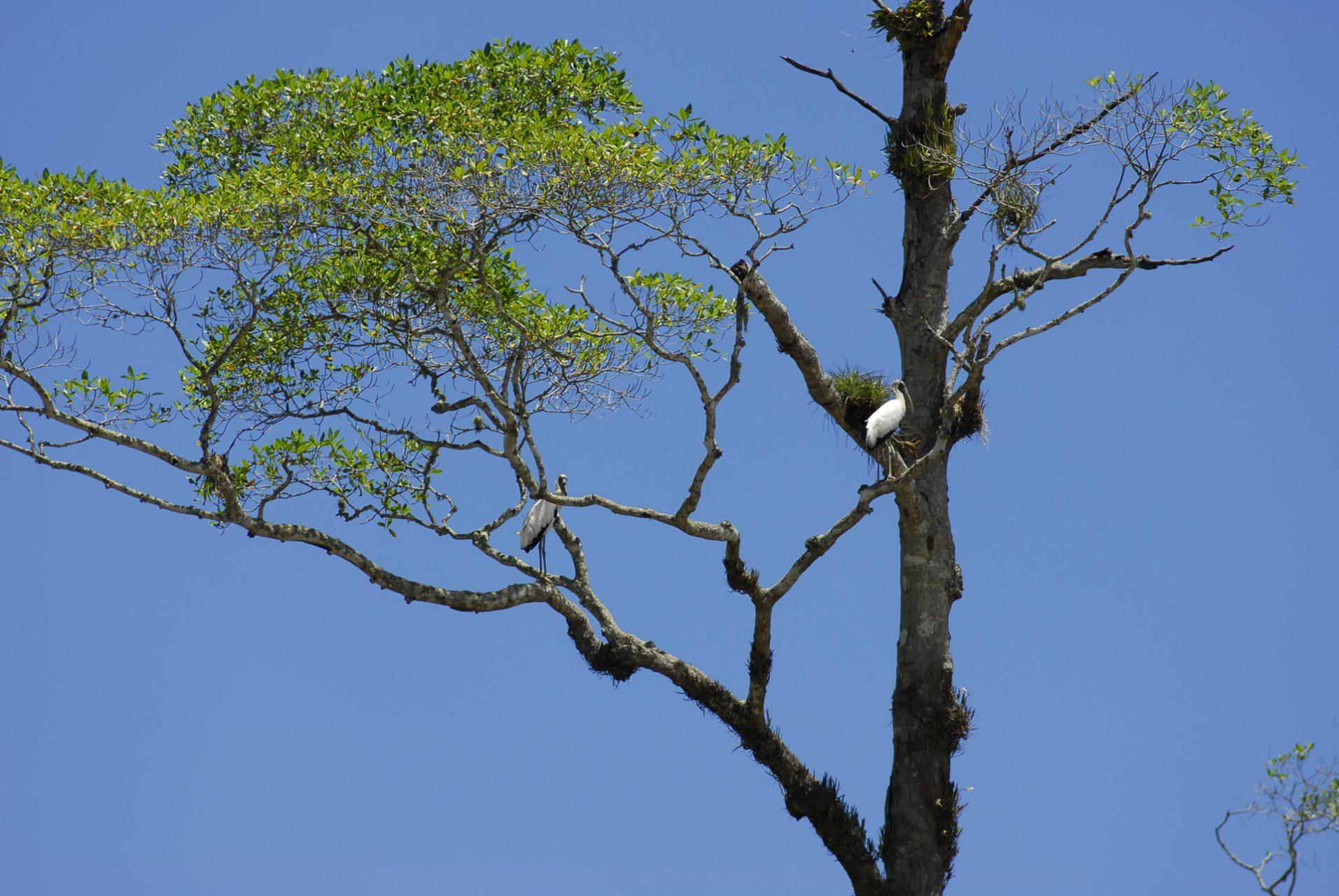 """Two Wood Storks in a Tree"", Tarcoles River, Las Mantas, Puntarenas"