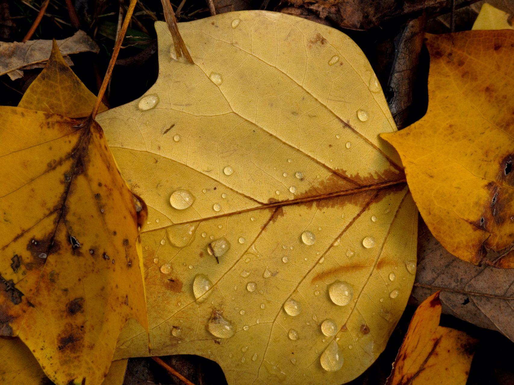 Poplar Leaf with Rain Drops