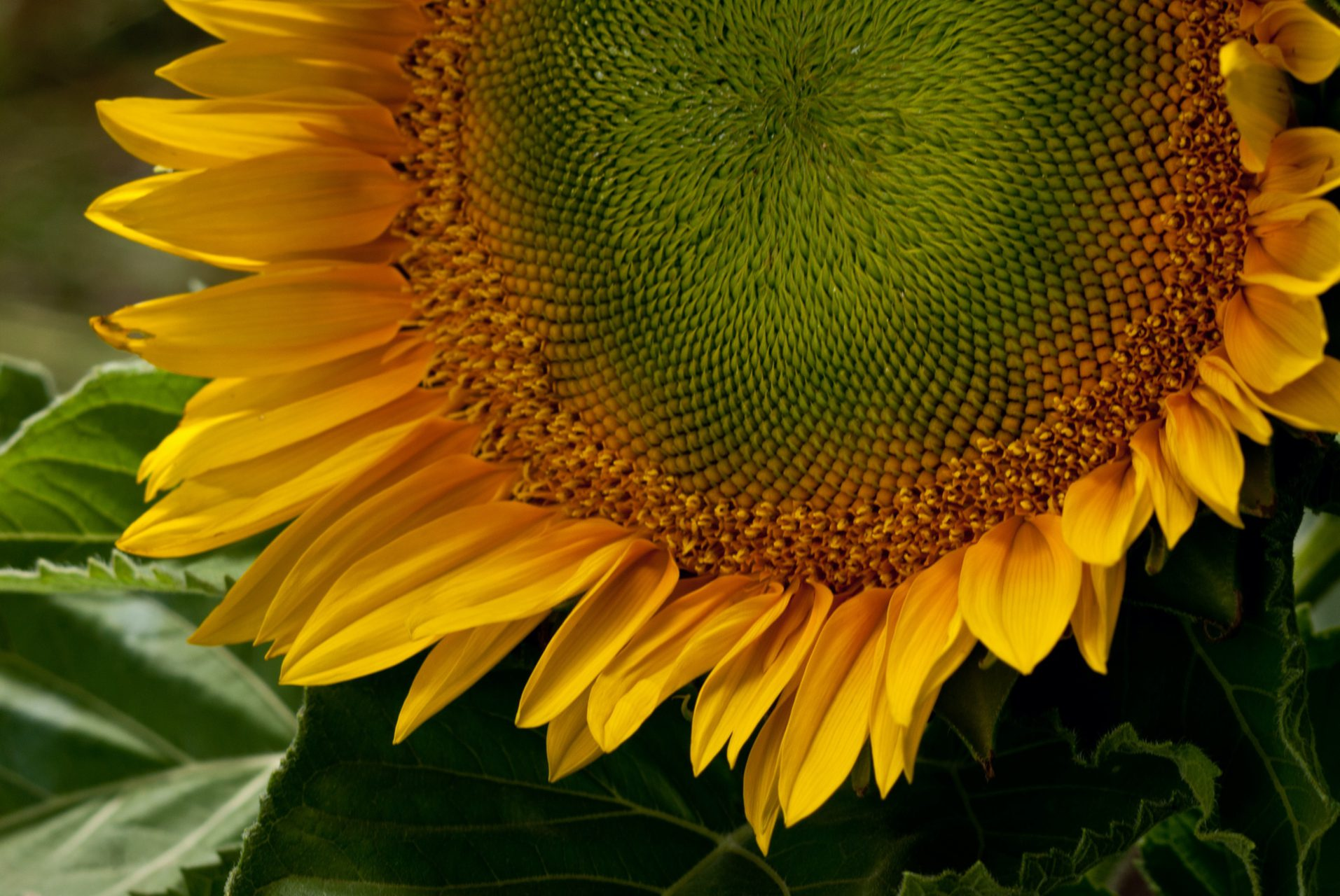 Sunflower from the Farm