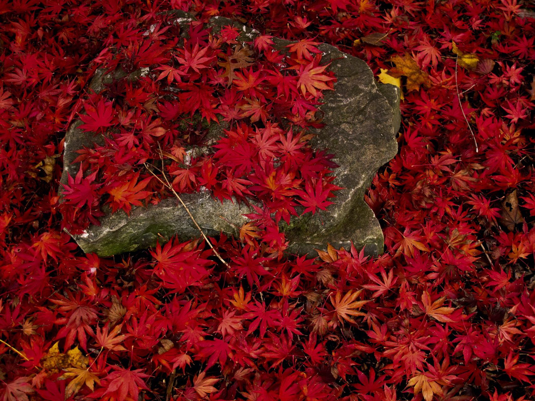 Japanese Maple Leaves on a Stone